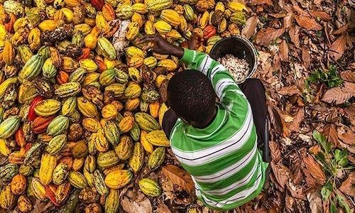 Il retrogusto amaro del cacao in Costa D'Avorio